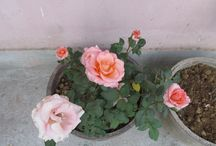 Roses / Lately planting and caring for Roses have become my obsession, and thus I thought to create a Pinterest Board specifically for my Roses