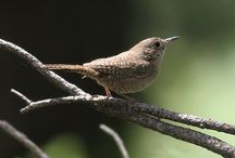 Birds / Wrens are the cutest birds. They love to go where they