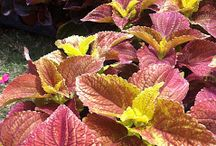 Coleus Revisited -- Should I Plant #Coleus Instead of Impatiens? / Impatiens blight 2013, impatiens disease, a/k/a impatiens fungus has tipped up gardeners in spadesful. There've been several alternative annuals proposed, but coleus, in particular, deserves a second look.