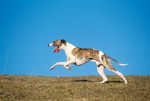 Running Dogs / A board of the best furry, four-legged running partners! Running dogs