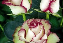 """""""Rose"""" - the most beautiful flower"""