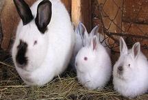 Bunny Rabbits / Care and management of Rabbits--californians, mini lops, Flemish Giants, rabbitry advice, rabbit recipes.