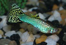 Guppy / fish