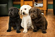 Labradors / by Dogsclub .TV