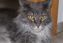 Meine Katzen - Whiskey / Das ist Whiskey Unser mittlerer MaineCoon Kater, geboren am 06.07.2012 Er ist zusammen mit Urmel bei uns eingezogen.  Er ist ein so Lieber und einfach ein Teddybär