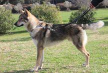 Camada B Wolfdog Land / Fotos de la camada B entre Zoray y Namanaslu