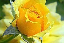 Розы живые.