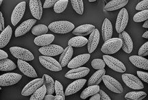 Pollens / Electron and optical microscopy pictures of pollens. Especially pollens of Lilies and Daylilies