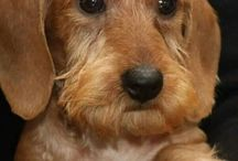 Red / dachshunds wirehaired