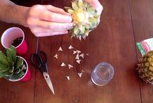 Gardening pineapple