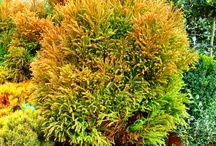 Interesting Conifers / conifers including pines can add fantastic colour and structure to the garden