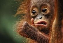 orangutans / by Leonie Lewis
