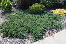 Ginepro Horizontalis - Juniperus