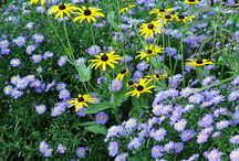 Aster Combinations / Plant partnerships that include asters (Aster or Symphyotrichum)