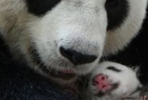 pandas lindos