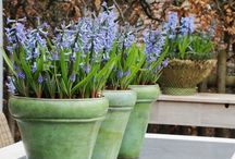 Hyacinthus outdoor / Use hyaicnthus outdoor