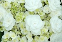 Garden Hydrangea / by Ahmad Idriss