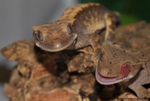 CRESTED GECKOS