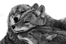 • ANIMALS | Wolves