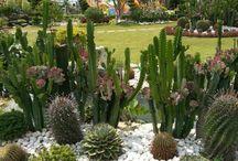 Kaktüs bahçesi