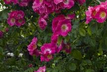 Rosa wichuraiana ou rosa luciae / Des grimpants ou des lianes très vigoureux. Issus de deux souches souvent confondues dés leur introduction en Europe vers 1870 : Rosa wichuraiana et Rosa luciae. Les obtenteurs américains auraient utilisé la première, les français la seconde.  Les premiers wichuraiana apparaissent vers 1900. En 1906 on en dénombrait 50 variétés, aujourd'hui 80 sont encore cultivées. -Résistant au froid (-18°C) - Acceptent toutes les situations soleil et mi-ombre