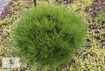 Pinus nigra 'Marie Bregeon'