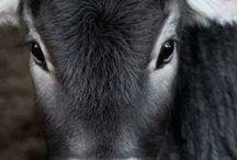 cow {crush}