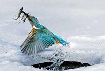 jégmadár_kingfisher