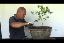 Растения банзай
