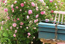 Lovely roses in Ruusunmekko / Ruusunmekko garden is full of lovely roses.
