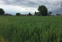 I campi del nostro Parmigiano Reggiano....