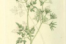 18th century flora botanical illustartion