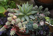 Succulents / All about succulents in the garden and out!