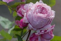 roses and peonies / by Tammy Toler