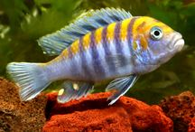 Freshwater Fish - African Cichlids