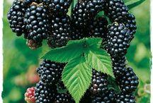 MORE - Rubus Fruticosus / Oltre 15 varietà di More (Rubus Fruticosus)