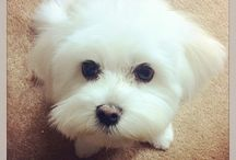 Coconut - Maltese dogs