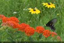 Asclepias Combinations / Plant partnerships that include milkweeds