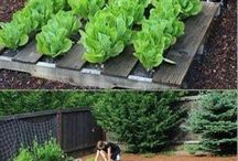 Gardens / Vegetable gardens