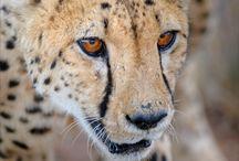 Cheetahs / Hands down, my favorite animal.