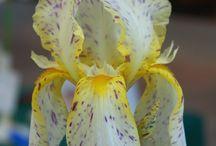 pilkullinen iris
