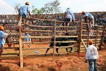 "Savika / El ""Savika"" del verbo ""coger"" es la corrida tradicional malgache todavia practicado en la region de la etnia Betsileo"