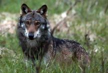 Foreign Wolves (non- USA) / Wolf happenings in other Countries besides the US.