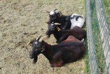 Fattoria didattica / Questa è una pagina interamente dedicata alla nostra fattoria didattica: qui ci saranno le migliori foto di tutti i nostri animali, potrete vederli e giocarci quando verrete da noi!