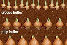 Piantare le bulbose