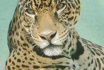 tigre leon pantera