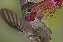 Humming and sugar bird