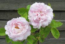 Ruusut. Roses.