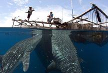 Fiskeren / hval fanger med hydrofobi/ Batoforbi - fisker fanger i sitt eget nett.