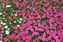 Sun Alternatives for Impatiens